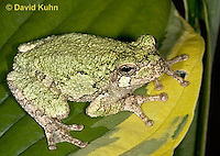 "0916-07yy  Gray Tree Frog - Hyla versicolor ""Virginia"" © David Kuhn/Dwight Kuhn Photography"