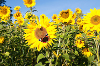 Sonnenblume, Sonnenblumen, Anbau auf Feld, Sonnenblumen-Feld, mit Schmetterling, Admiral als Blütenbesucher, Vanessa atalanta, Helianthus annuus, Common Sunflower