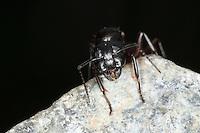 Braunschwarze Rossameise, Riesenameise, Holzzerstörende Rossameise, Königin, Ross-Ameise, Riesen-Ameise, Roßameise, Camponotus ligniperdus, Camponotus ligniperda, carpenter ant