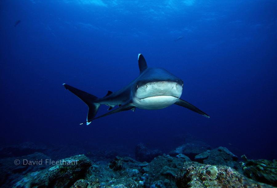 A silvertip shark, Carcharhinus albimarginatus, over the reef at Burma Banks.  Myanmar.