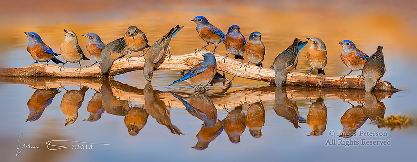 """Bluebird Bacchanalia near Sedona, Arizona  © 2018 James D Peterson.  The fall and early winter months were very dry in this area, even by the standards of our officially """"semi-arid"""" climate.  So the local wildlife tended to congregate around the few remaining water holes.  This bevy arrived at a local oasis for a bluebird bender just after a January sunrise."""