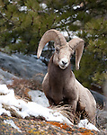 Bighorn sheep ram,  Rocky Mountain National Park, USA