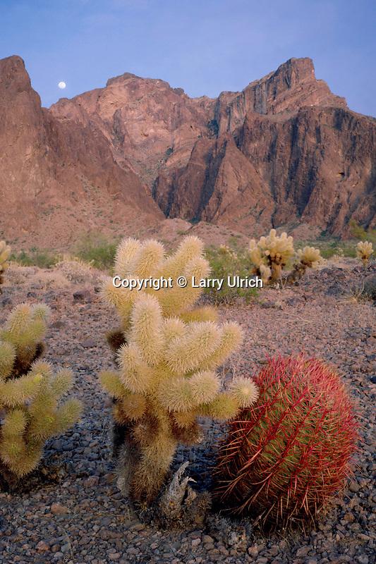 Compass barrel cactus and teddy bear cholla<br /> Palm Canyon<br /> Kofa National Wildlife Refuge<br /> Sonoran Desert, Arizona