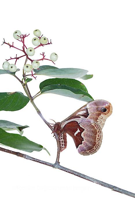 30040-00301 Promethea Moth (Callosamia promethea) female on Gray Dogwood (Cornus racemosa) on white background, Marion