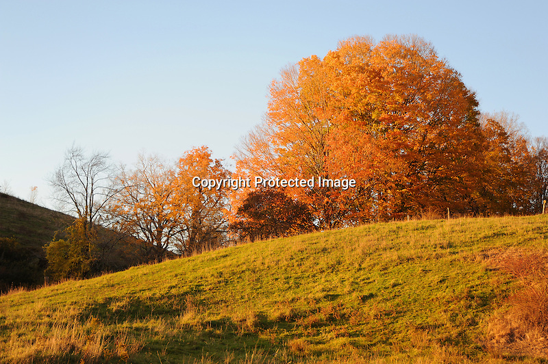 Brightly Colored Maple Trees on a Hill during Fall Season in Walpole, New Hampshire USA