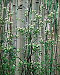 Service Berry Tree Blooms in Aspen forest,Gore Range,Colorado