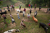 Cattle are sold on the road before they reach the auction site in Kivuruga, Rwanda. Photo by  Brendan Bannon. March 5, 2014