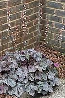 Heuchera Silver Scrolls in bloom next to brick garden wall corner in dry shade