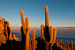 Cactus at Incahuasi island, at the centre of the salt desert of Salar de Uyuni