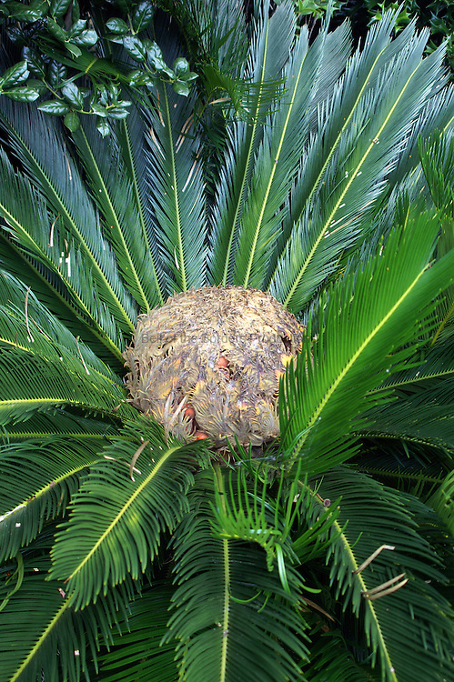 Sago palm fruit are visible under a covering of fronds.