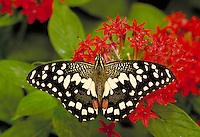 "PAPILIO DEMOLEUS, """"Checkerspot Swallowtail Butterfly"""", Subfamily - Papilioninae; Family - Papilionidae; Order - Lepidoptera; Class - Insecta. Resting & feeding on red Pentas lancelata. NEW ORLEANS LA USA AUDUBON ZOO."