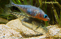 1S55-504z  Threespine Stickleback, gravid female entering male's nest to lay her eggs, Gasterosteus aculeatus
