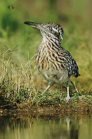 Greater Roadrunner, Geococcyx californianus,adult drinking, Starr County, Rio Grande Valley, Texas, USA, May 2002
