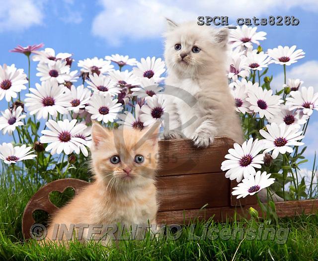 Xavier, ANIMALS, REALISTISCHE TIERE, ANIMALES REALISTICOS, cats, photos+++++,SPCHCATS828B,#A#