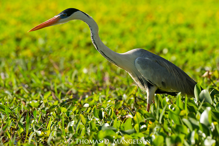 Portrait of a great blue heron in the Pantanal, Mato Grosso, Brazil.