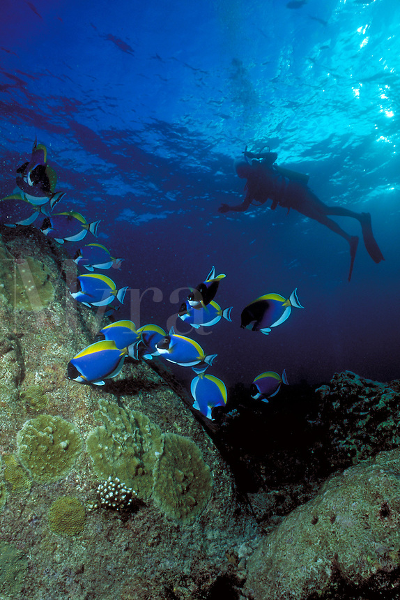 Underwater reef scene & Powder Blue Tang with Scuba diver in the distance, tropical fish, marine life. Power Blue Tang & diver. Seychelles Islands, Seychelles Western Indian Ocean.