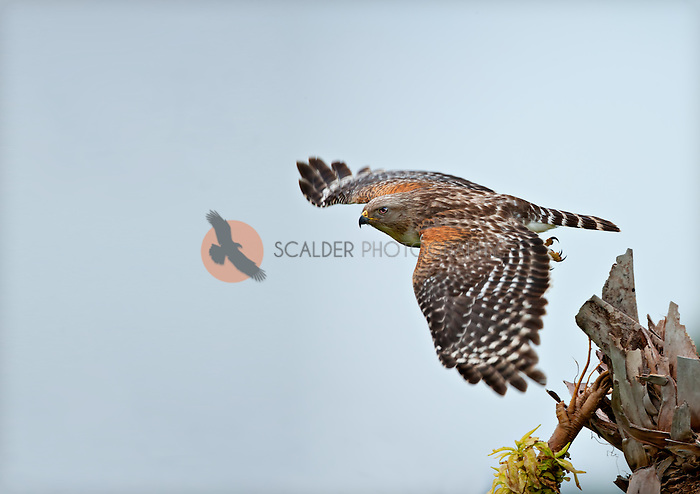 Red Shouldered Hawk in flight in Florida