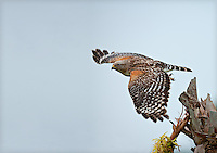 Red Shouldered Hawk in flight in Florida