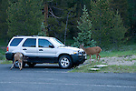 mule deer, Odocoileus hemionis, pair, parking lot, auto, SUV, Colorado River Trailhead, summer, morning, Rocky Mountain National Park, Colorado, Rocky Mountains, USA