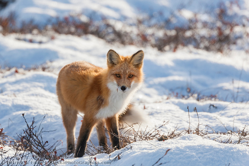 Red fox stands on the snow covered tundra of Alaska's arctic north slope.
