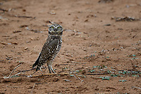 Burrowing Owl, Texas roadside