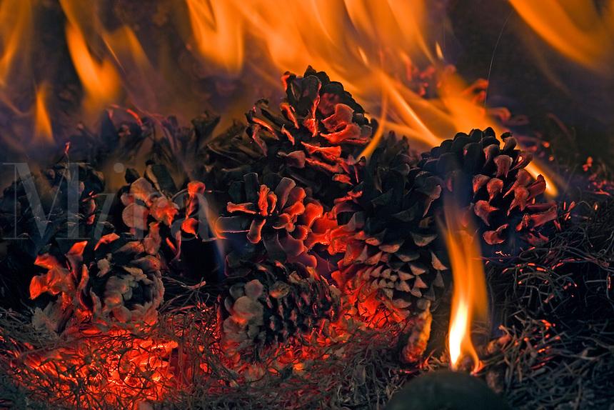 prescribed fire on forest floor burns pine cones and pine needles of ponderosa pine