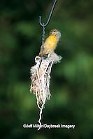 01611-04414  (JM) Baltimore Oriole (Icterus galbula) female gathering nesting material  Jefferson Co.  MO