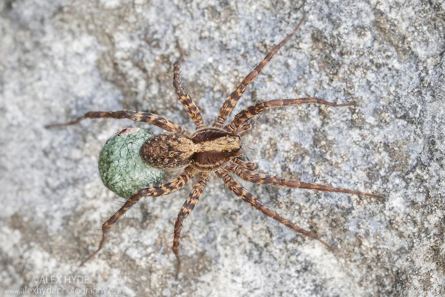 Wolf Spider female {Pardosa lugubris} carrying egg sac. Peak District National Park, Derbyshire, UK. June.