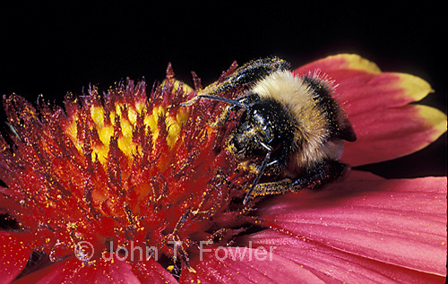 Bumble bee feeding on flower with pollen Apidae Apinae