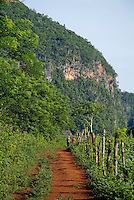 Tourists walking along a dirt going towards the Mogotes in the Vinales Valley, Cuba.