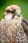 Lanner falcon, Africa