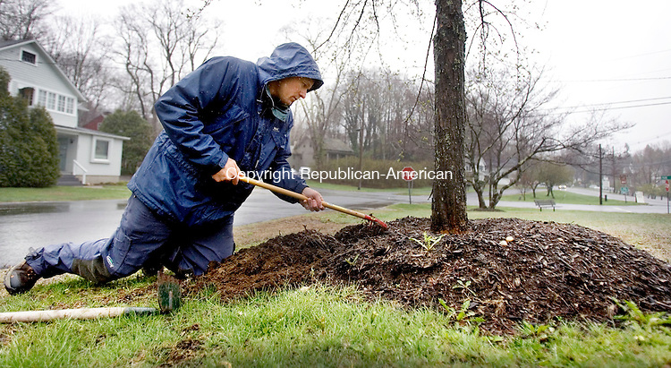 WOODBURY CT. 26 April 2014-042617SV02-David Neal, a Woodbury arborist, checks on the root structure of a tree planted on Cannon Green in Woodbury Saturday. <br /> Steven Valenti Republican-American