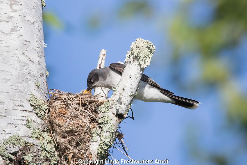 Eastern kingbird at nest site
