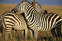 Burchell's or Plains Zebras grooming one another.  Serengeti National Park, Tanzania..(Equus burchelli).