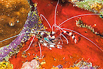 25 January 2016: A Coral Banded Shrimp (Stenopus hispidus) rests on a patch of orange sponge, under a coral ledge on the house reef, north of Captain Don's Habitat in Bonaire. Bonaire is known for its pioneering role in the preservation of the marine environment. A part of the Netherland Caribbean Islands, Bonaire is located off the coast of Venezuela and offers excellent scuba diving, snorkeling and windsurfing.  Mandatory Credit: Ed Wolfstein Photo *** RAW (NEF) Image File Available ***