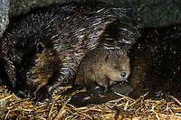 Very young North American Beaver kit (Castor canadensis) with adult beavers inside beaver lodge, early Spring.