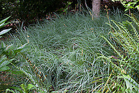 Blue Sedge, Carex flacca (aka C. glauca) 'Blue Zinger' groundcover in garden