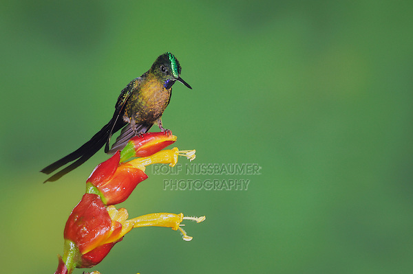 Violet-tailed Sylph (Aglaiocercus coelestis), male perched on ginger flower, Mindo, Ecuador, Andes, South America