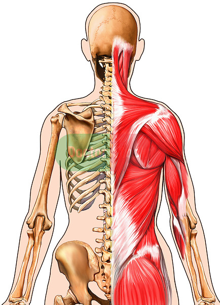 This full color medical illustration depicts the primary skeletal and muscular anatomy of the female from a posterior (back) view. Half of the female figure shows the skeletal anatomy half shows the muscle anatomy from the head down to the mid pelvis. Features the skull, spine, scapula, humerus, ribs, and pelvis. The following muscular anatomy is illustrated: trapezius, deltoid, teres major and minor, latissimus dorsi, and gluteus maximus.