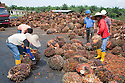 Palm oil mill workers inspecting and sorting oil palm fresh fruit bunches (FFBs) for processing. The Sindora Palm Oil Mill, owned by Kulim, is green certified by the Roundtable on Sustainable Palm Oil (RSPO) for its environmental, economic, and socially sustainable practices. Johor Bahru, Malaysia
