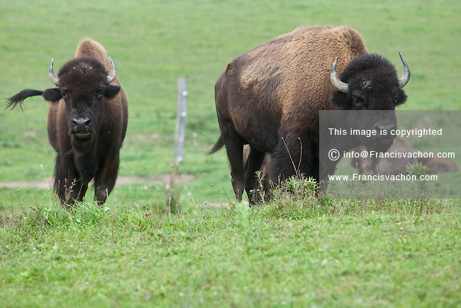 Buffalos are pictured at Empire Buffalo farm in Chittenango, NY, Wednesday September 11, 2013. The American bison (Bison bison), also commonly known as the American buffalo, is a North American species of bison.
