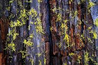 Moss on dead tree. Along Metolius River, Oregon