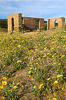 The Ashford Mill ruins.  In 1914, gold ore was process here for shipment to a smelter.  Surounding the mill are fields of hairy desert sunflower, in Death Valley often called desert gold (Geraea canescens), Death Valley National Park, California