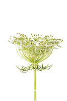 30099-00709 Queen Anne's Lace (Daucus carota) (high key white background) Marion Co. IL