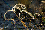 Feather Grass (Stipa pennata), Forcalquier, France