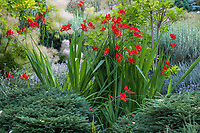 Crocosmia 'Lucifer' (Crocosmia masoniorum × Crocosmia paniculata) flowering in drought tolerant, summer-dry Albers Vista Gardens