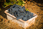 Zinfandel grape harvest at Joe Aparicio's zinfandel grape vineyard on Sutter Ridge in fall..Tub of grapes