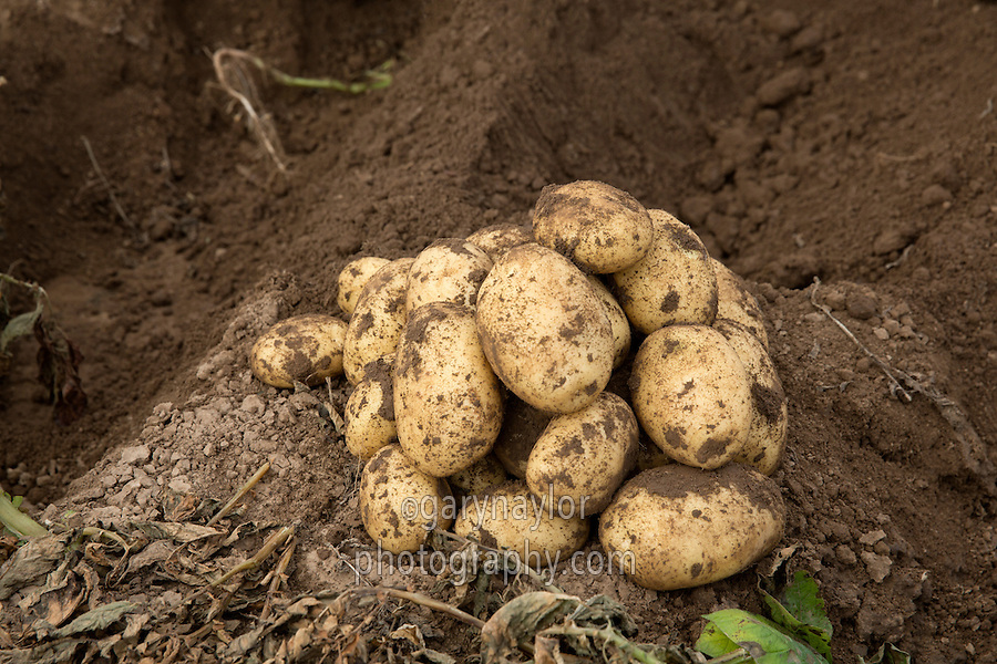 Melody potatoes dug to assess quality & size - Lincolnshire, September