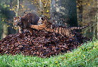 BNPS.co.uk (01202 558833)<br /> Pic: IanTurner/BNPS<br /> <br /> <br /> The wonderful thing about tiggers...cubs Rusty and Yuki play in the autumn leaves.<br /> <br /> The endangered Amur tiger cubs - the world's largest big cats – have been seen by visitors for the first time at the Longleat Safari Park.<br /><br />And the precocious pair were soon frollicking in the autumn sunshine whilst playing in the fallen leaves, and pouncing on their long suffering mother Yana.<br /> <br /> The male called Rusty and a female called Yuki, are part of a European wide breeding programme for the endangered sub-species.<br /><br />Native to the far east of Russia, the Amur tiger is the largest of the big cats and can weigh up to 300 kg and measure more than three metres in length. <br /><br />In the 1930s the tigers had nearly died out due to hunting and logging. At one stage it is thought the population fell as low as just 20–30 animals. <br /> <br /> Although they are still under severe threat their status was officially changed from Critically Endangered to Endangered in 2007.