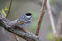Blackpoll Warbler (Setophaga striata), male in breeding plumage, a spring migrant to Magee Marsh in Oak Harbor, Ohio singing.